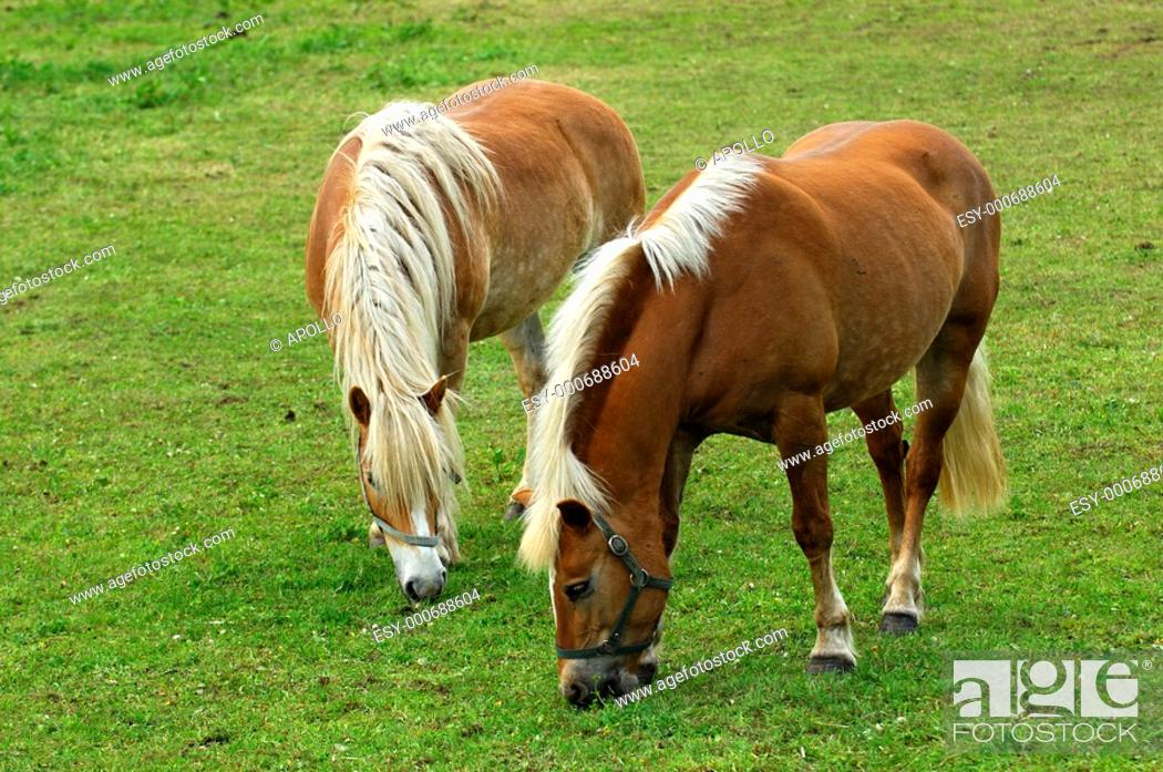 Stock Photo: Haflinger Horses Equus caballus, mares on a meadow.