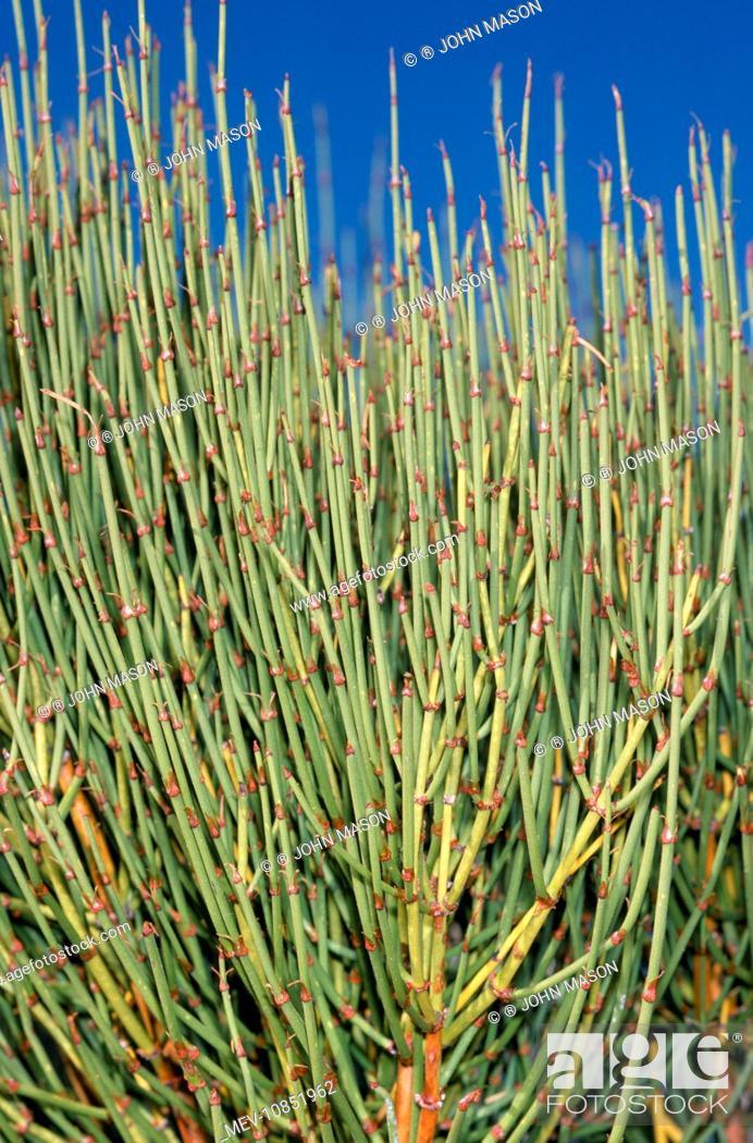 Mormon Tea - is a medicinal / herbal confier plant, found in