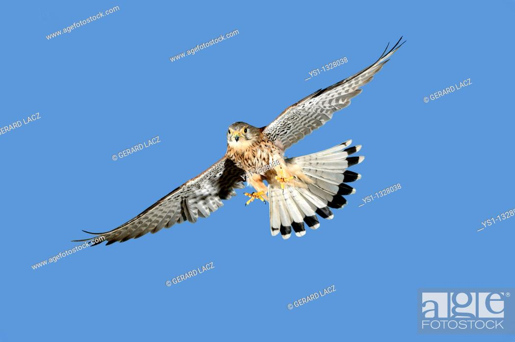 Stock Photo: COMMON KESTREL falco tinnunculus, ADULT IN FLIGHT AGAINST BLUE SKY, NORMANDY IN FRANCE.