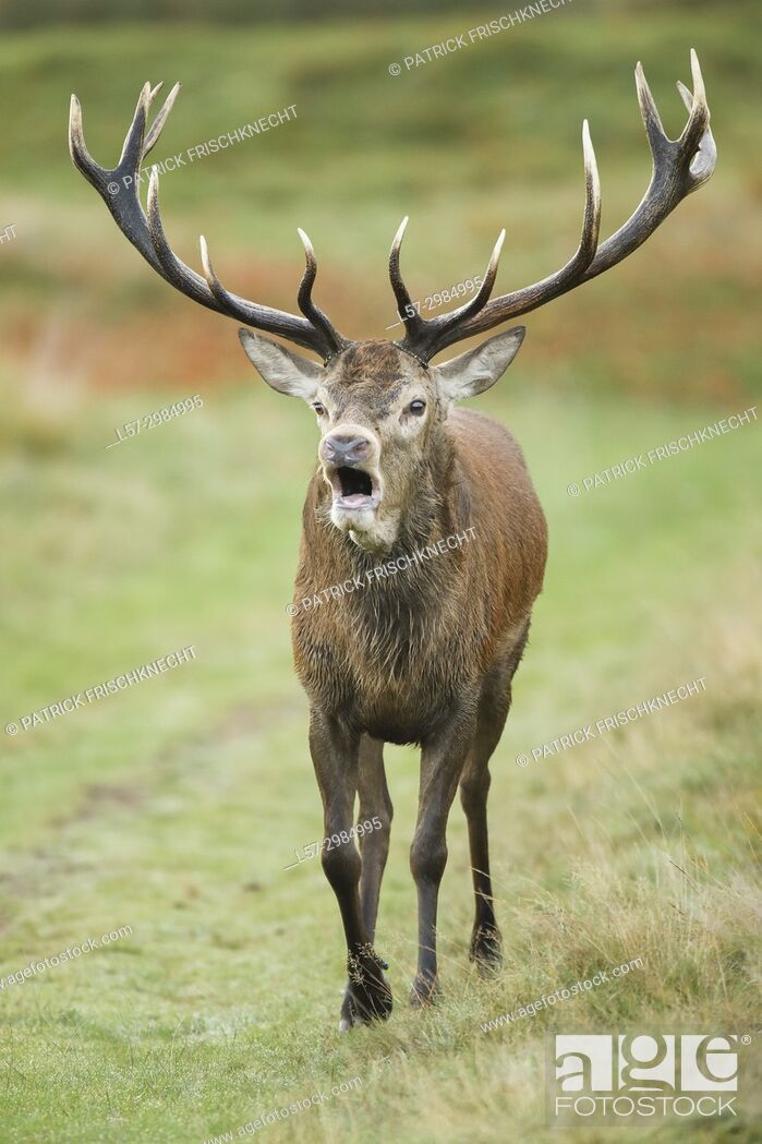Stock Photo: Red deer stag , Richmond park, London, England.