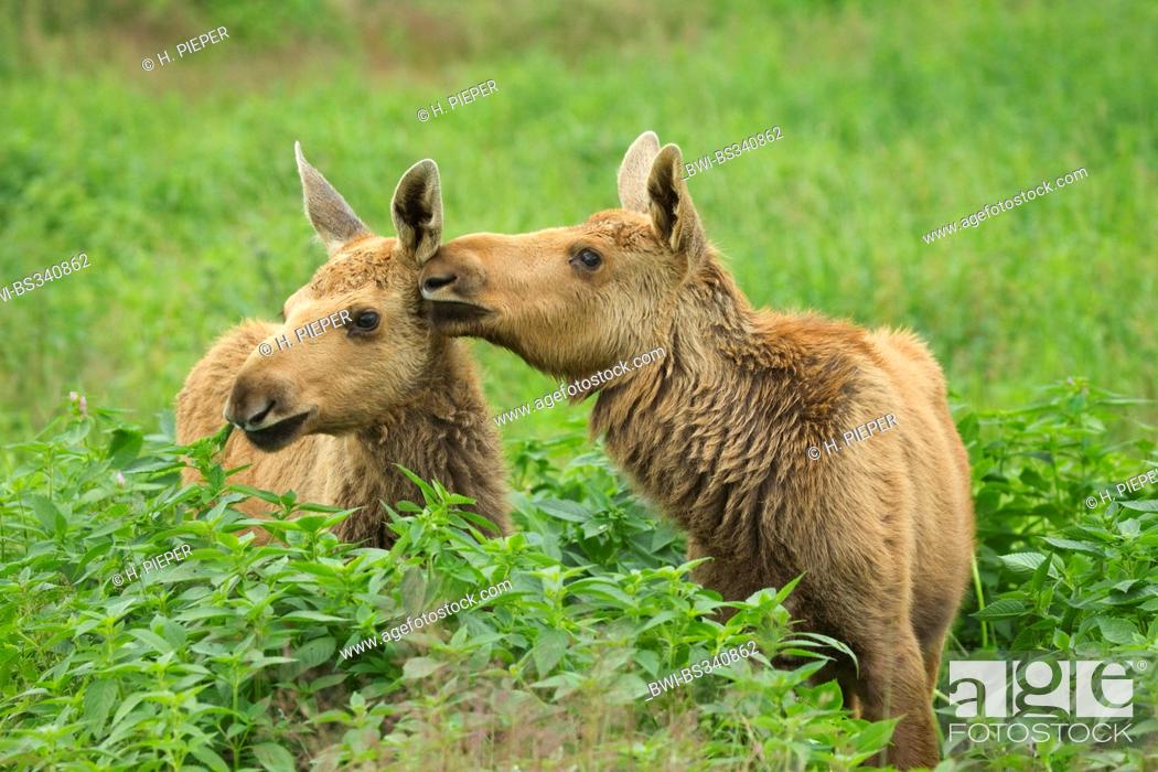 Stock Photo: elk, European moose (Alces alces alces), two juveniles sitting at a forest edge caressing each other, Sweden.