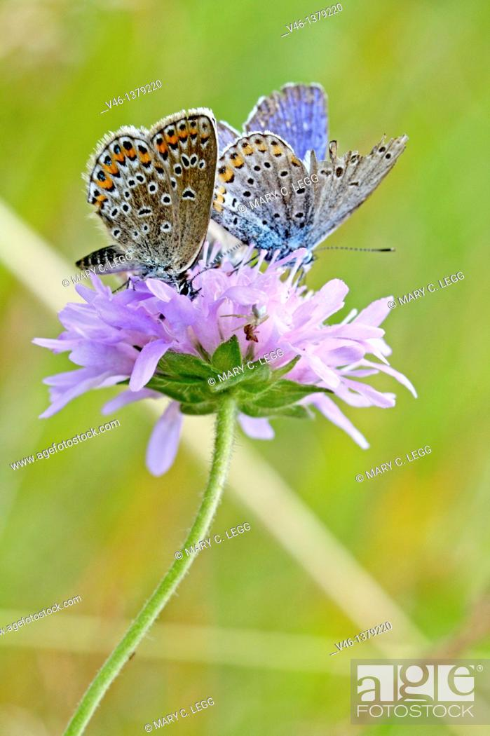 Stock Photo: Silver-studded Blue, Plebejus argus  with Idas Blue, Northern Blue, plebejus idas, plebeius, Lycaeides idas, Butterflies on lavender scabious  Underwing clearly.
