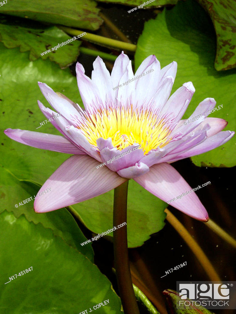 Stock Photo: Florida Everglades, water lily.