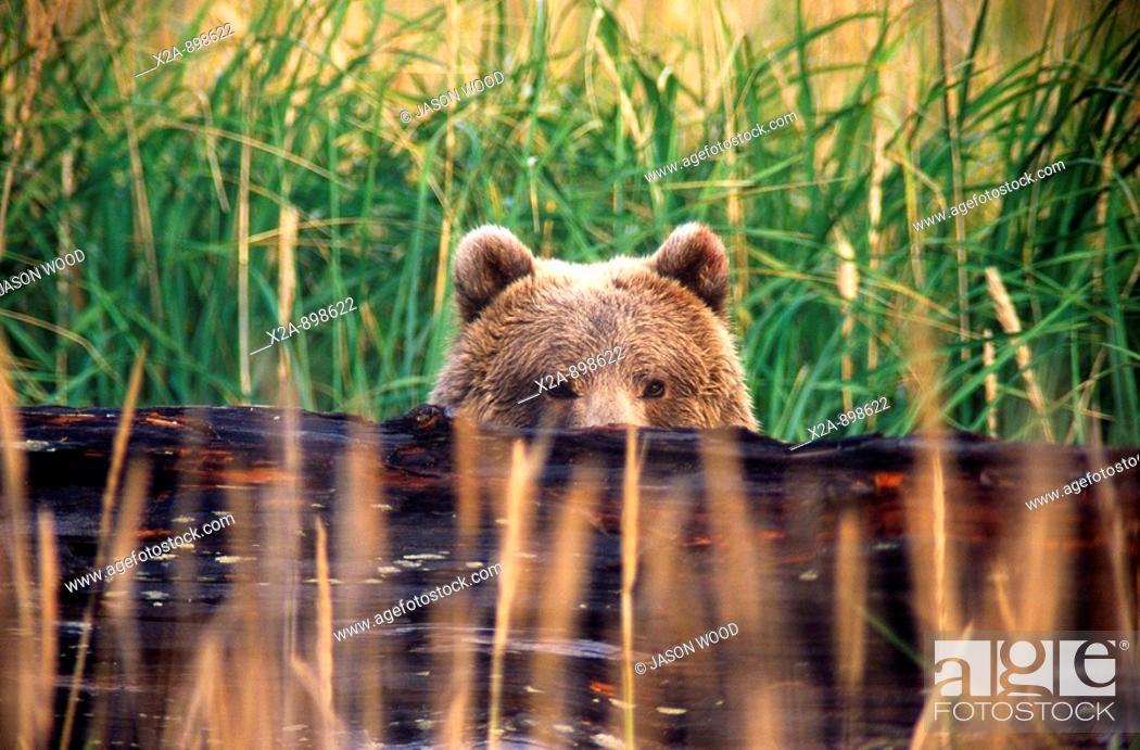 Stock Photo: Kodiak Bear, Alaska.