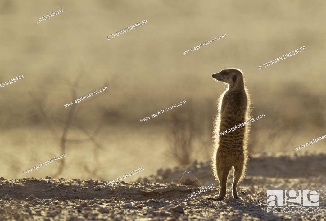 Imagen: Suricate (Suricata suricatta). Also called Meerkat. Guard on the lookout. Kalahari Desert, Kgalagadi Transfrontier Park, South Africa.