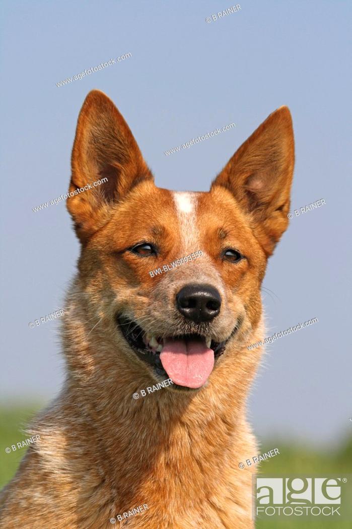 Stock Photo: Australian Cattle Dog Canis lupus f. familiaris, portrait, Europe, Germany.