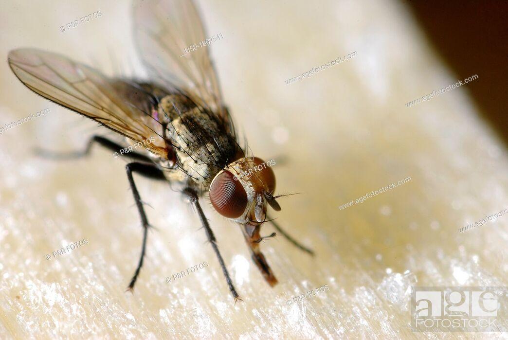 Stock Photo: Fly  Muscidae, Diptera  2012.