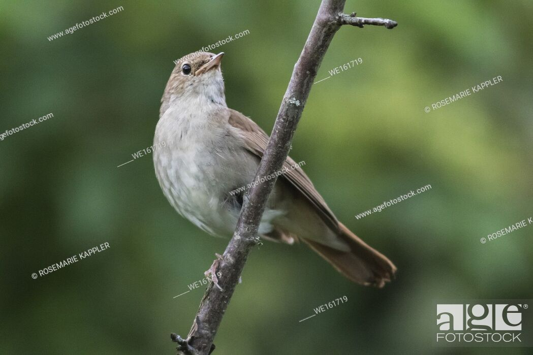 Stock Photo: A garden warbler is sitting on a branch.