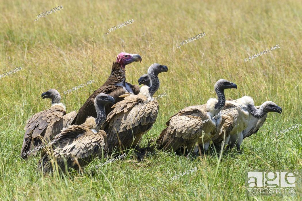 Photo de stock: White backed vulture, Gyps africanus, group of birds with Lappet Faced Vulture, torgos tracheliotus, Masai Mara National Reserve, Kenya, Africa.