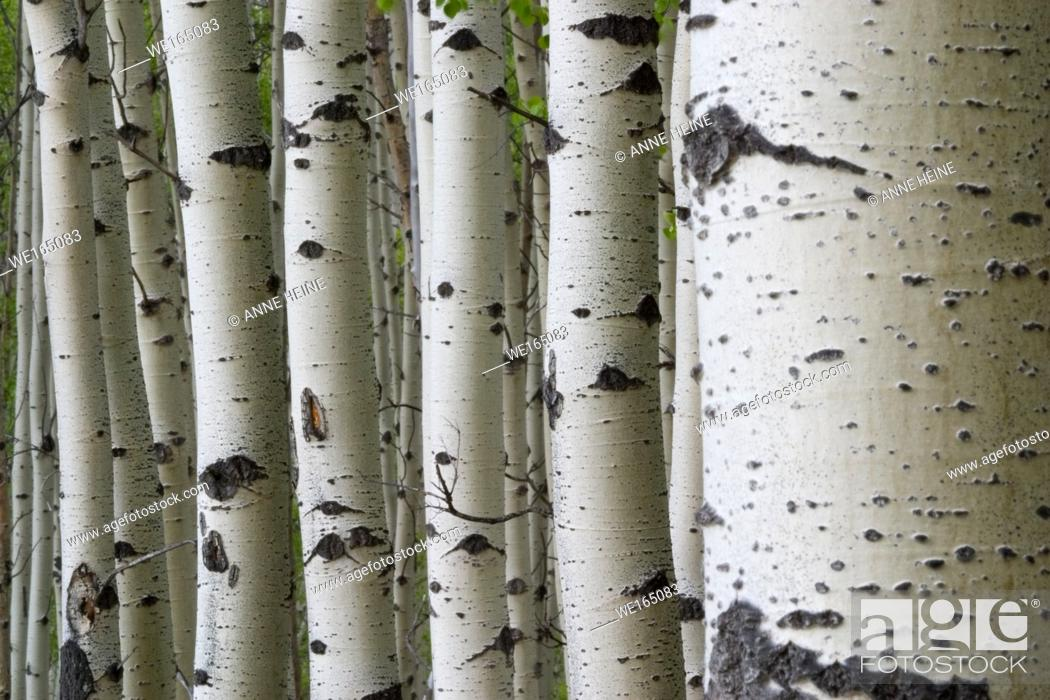 Stock Photo: Many aspen tree trunks lined up creating a pattern of vertical lines. Kananaskis Country, Alberta, Canada.