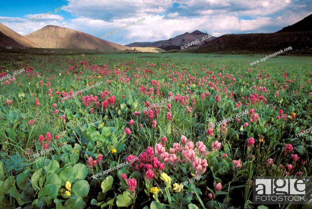 Stock Photo: USA , Colorado, Indian Peak Wilderness, Paint Brushes fields.