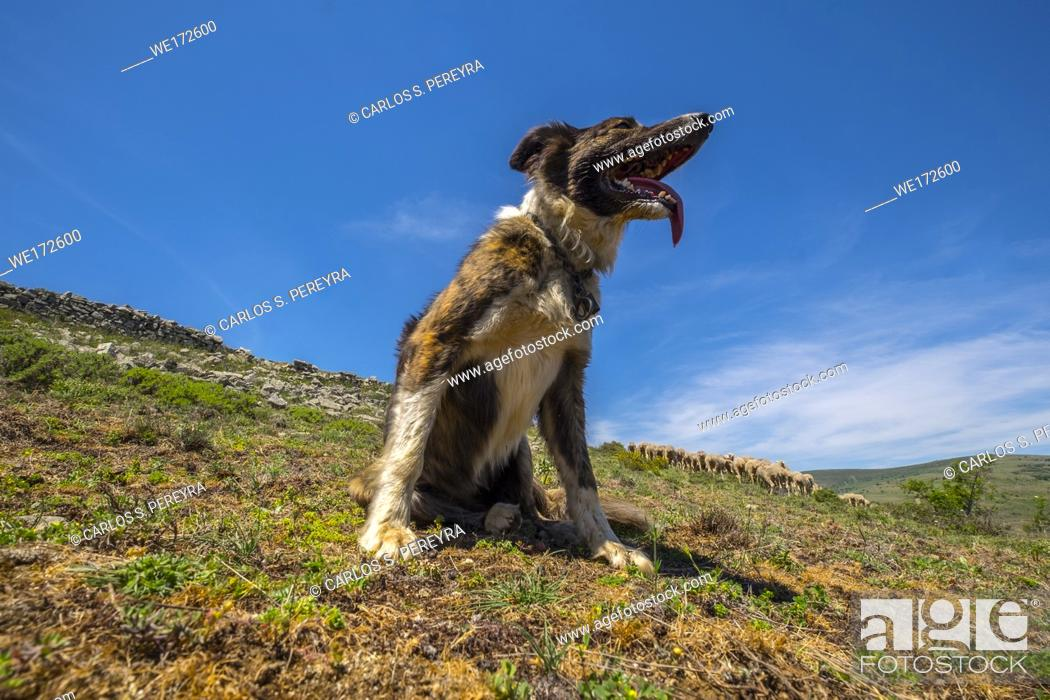 Stock Photo: Sheepdog working on the transhumance route in the Soria region of Spain.
