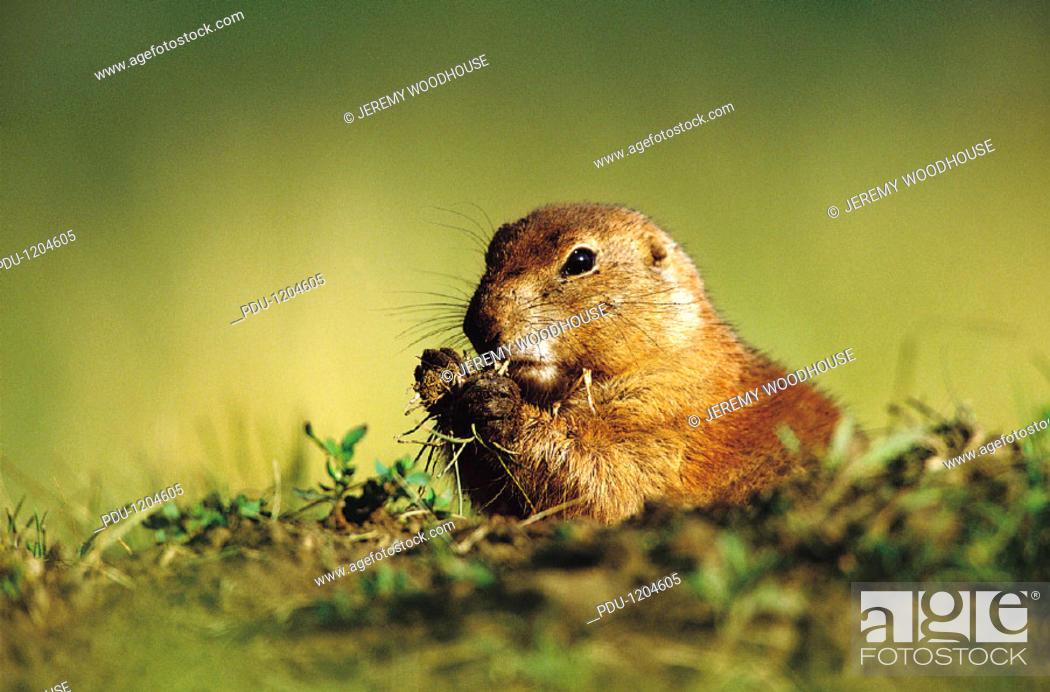 Stock Photo: Prairie Dog Eating, Custer State Park, South Dakota, Usa.