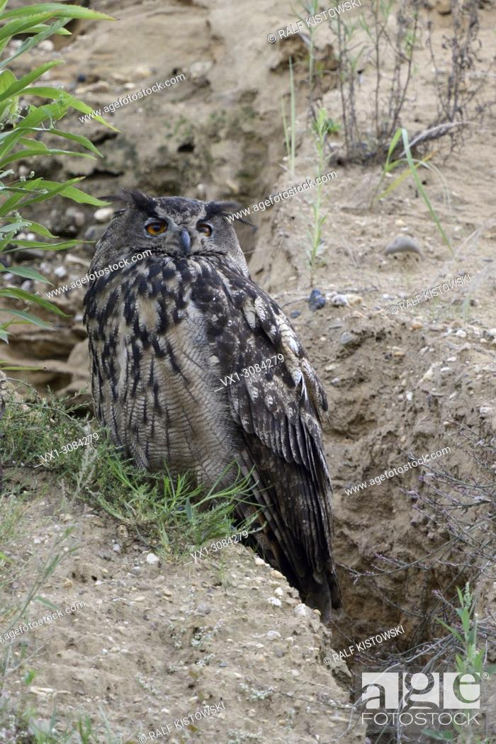 Stock Photo: Eurasian Eagle Owl ( Bubo bubo ), adult bird, resting at the edge of a natural drainage channel in a gravel pit, watching seriously, wildlife, Europe.