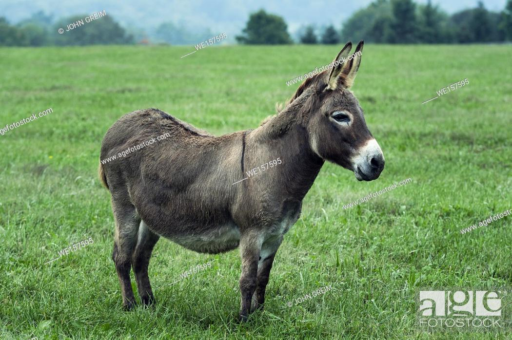 Stock Photo: Donkey in a field, Chester County, Pennsylvania, USA.