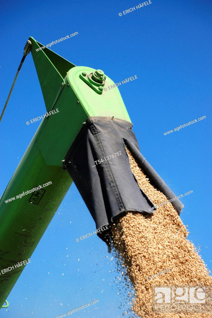 Stock Photo: Grain falls from the combine harvester on a trailer.