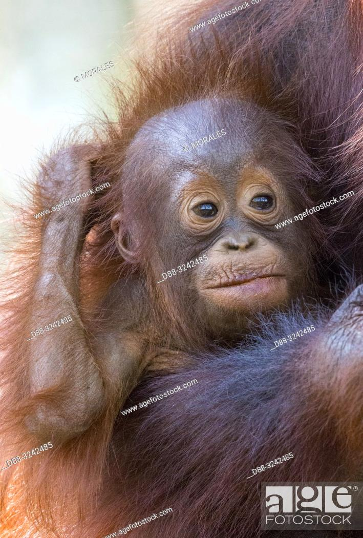 Stock Photo: Asia, Indonesia, Borneo, Tanjung Puting National Park, Bornean orangutan (Pongo pygmaeus pygmaeus), Adult female with a baby, detail.