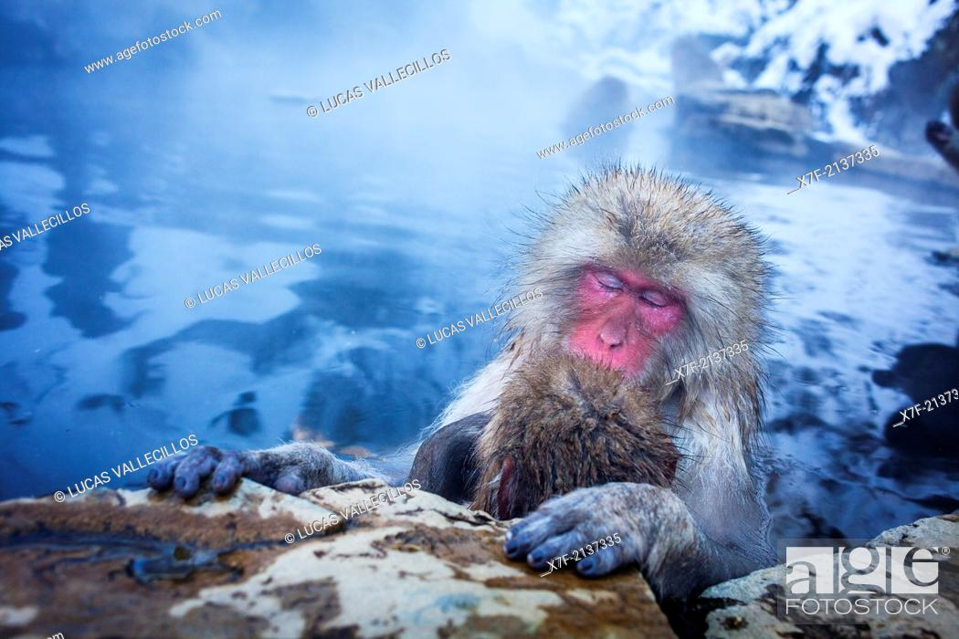 Stock Photo: Monkeys in a natural onsen (hot spring), located in Jigokudani Monkey Park, Nagono prefecture, Japan.