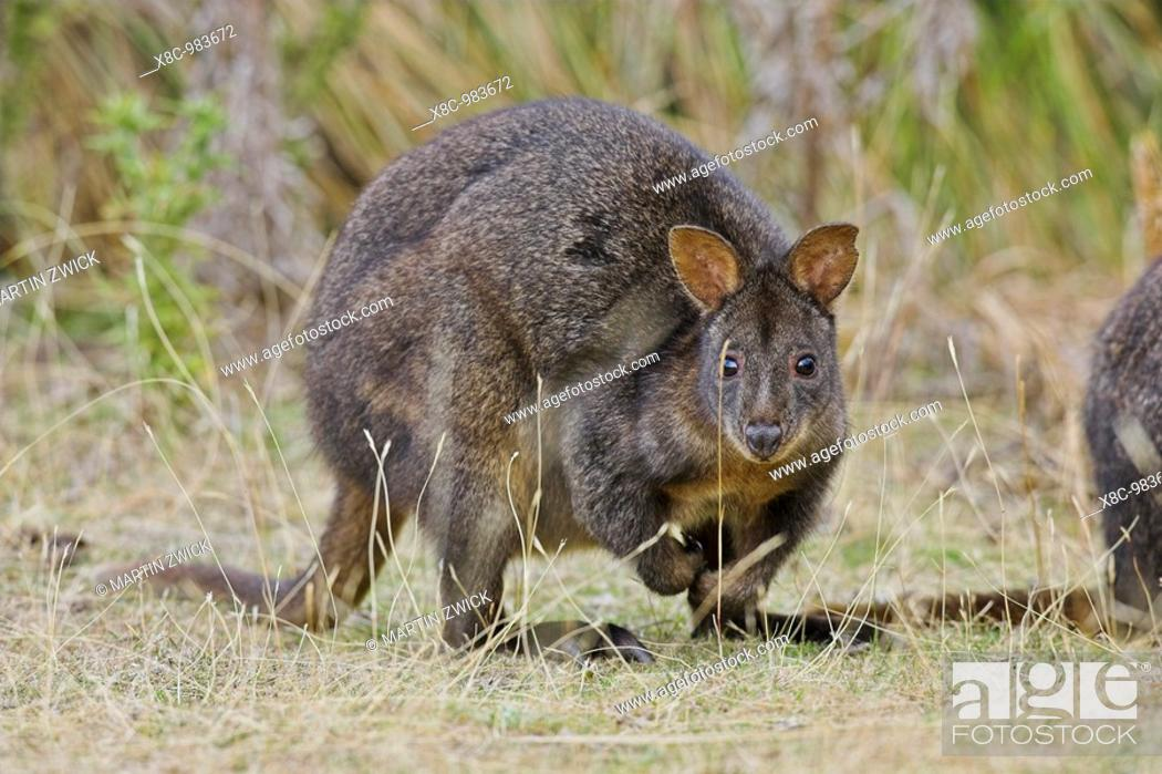 Stock Photo: Tasmanian Pademelon Thylogale billardierii also called rufous-bellied Pademelon or Red-bellied Pademelon is a small, mostly nocturnal marsupial of Tasmania.