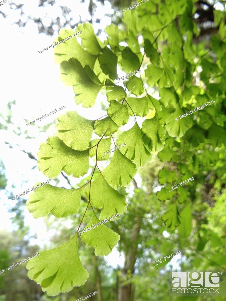 Stock Photo: Adiantum capillus-veneris.