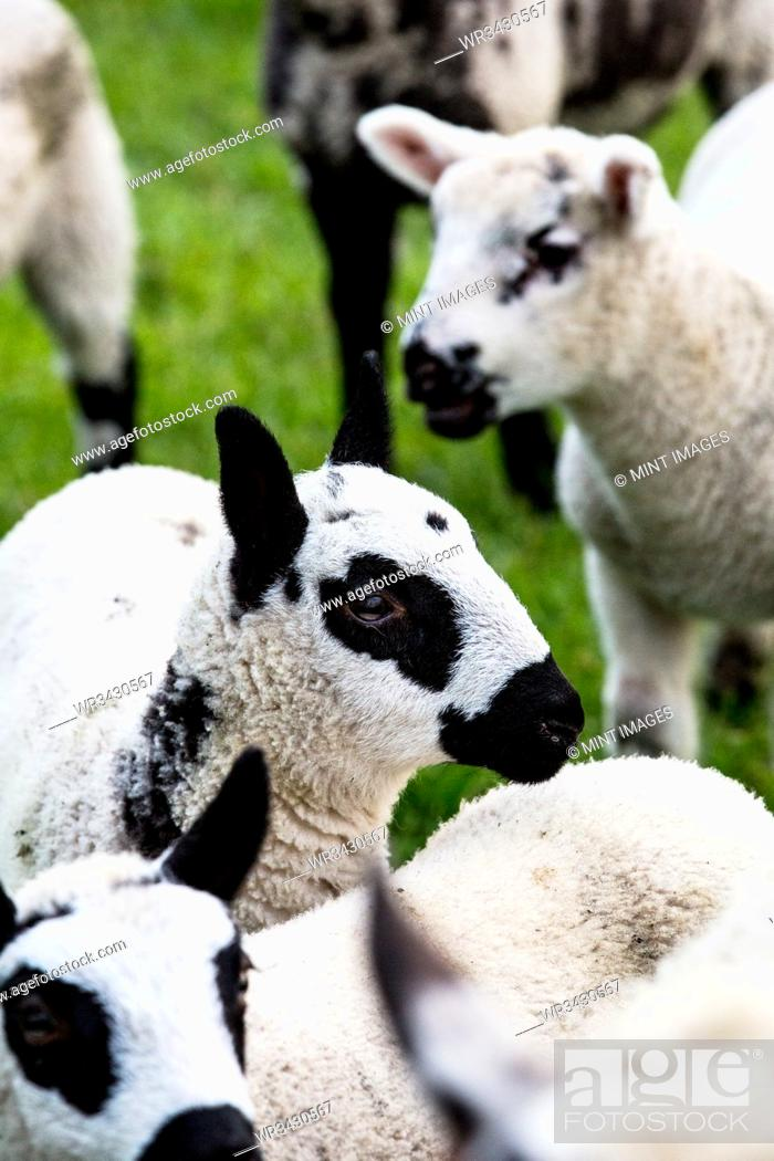 Stock Photo: Small herd of Kerry Hill sheep on a farm.