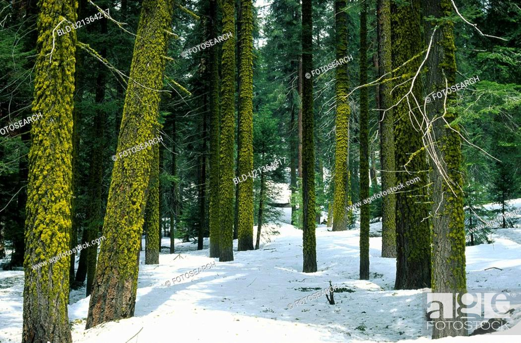 Stock Photo: Winter trees with moss on them.