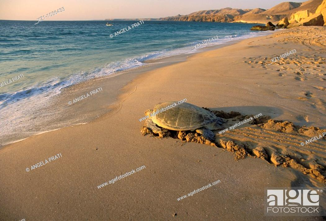 Stock Photo: Asia,Oman,Ras el Hadd,Turtles Beach Reserve,eggs deposition time.