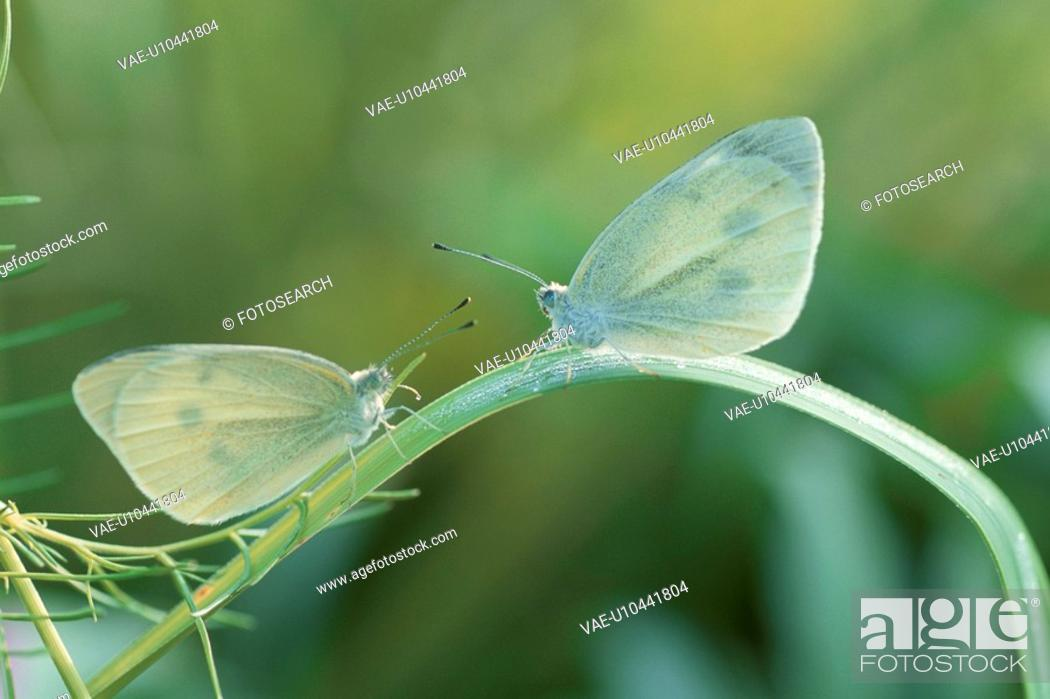 Stock Photo: White Butterfly.