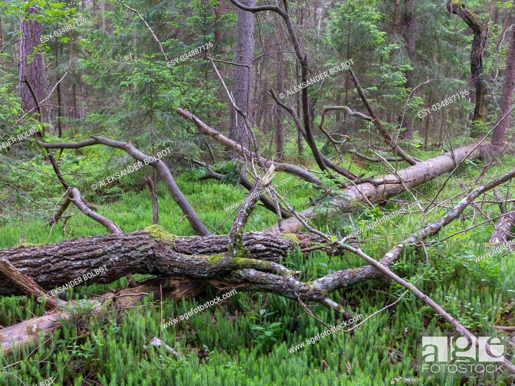 Stock Photo: Broken pine tree lying on Stag's-Horn Clubmoss bed in summer, Bialowieza Forest, Poland, Europe.