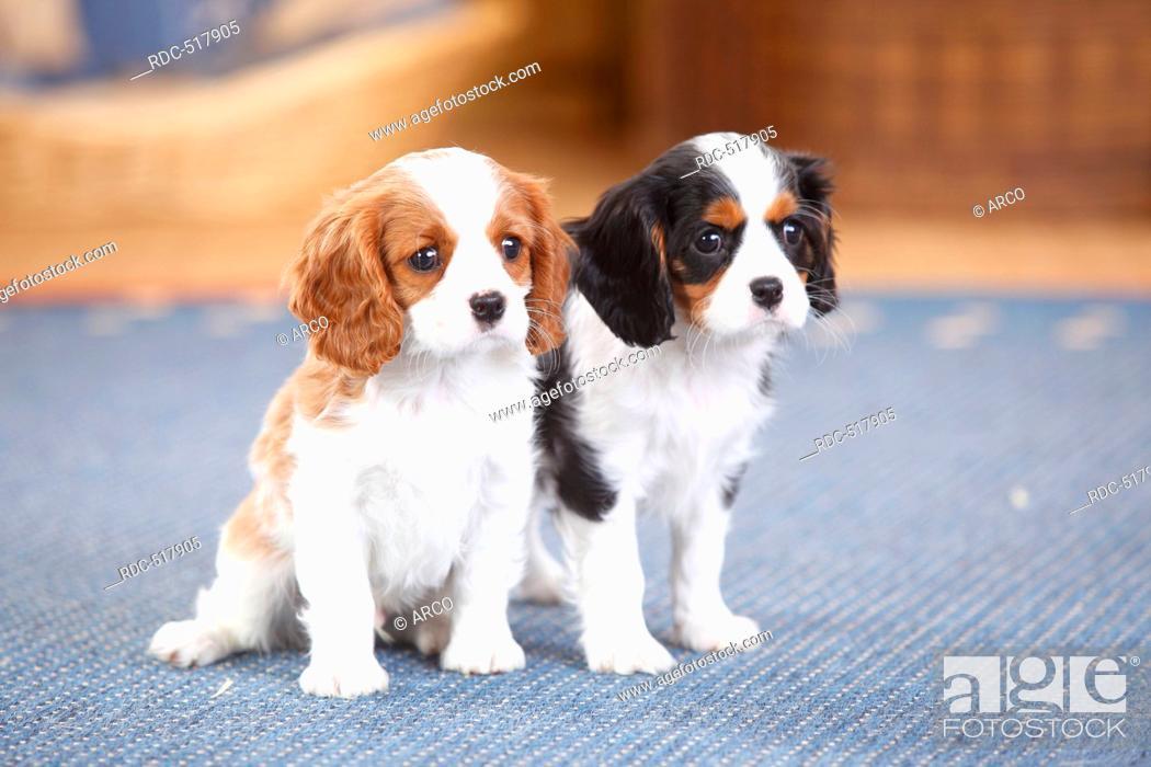 Cavalier King Charles Spaniel Puppies Blenheim And Tricolour 8 Weeks Foto De Stock Imagen Derechos Protegidos Pic Rdc 517905 Agefotostock