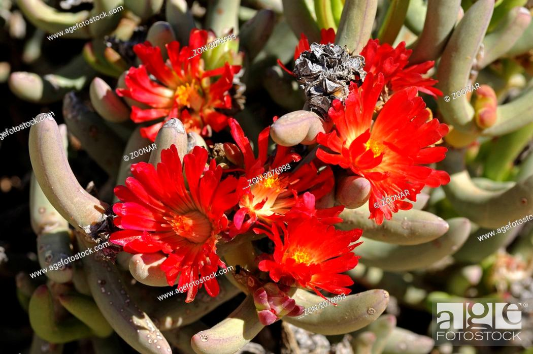 Stock Photo: Malephora purpureo-crocea, Richtersveld Nationalpark, Südafrika / Malephora urpureo-crocea, Richtersveld Transfrontier National Park, South Africa.