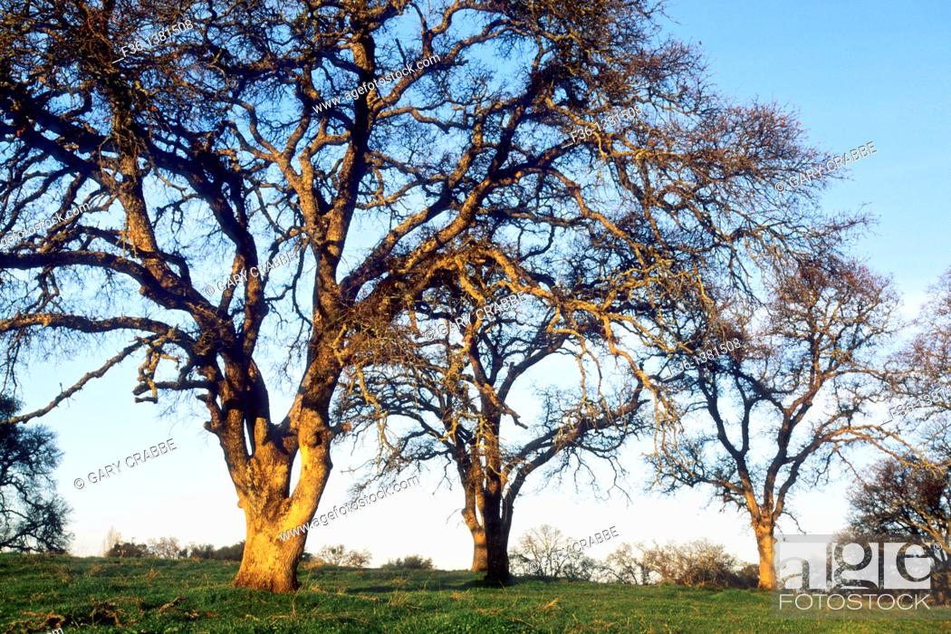 Stock Photo: Sunrise light on oak trees, in the foothills near Plymouth, Amador County, California.
