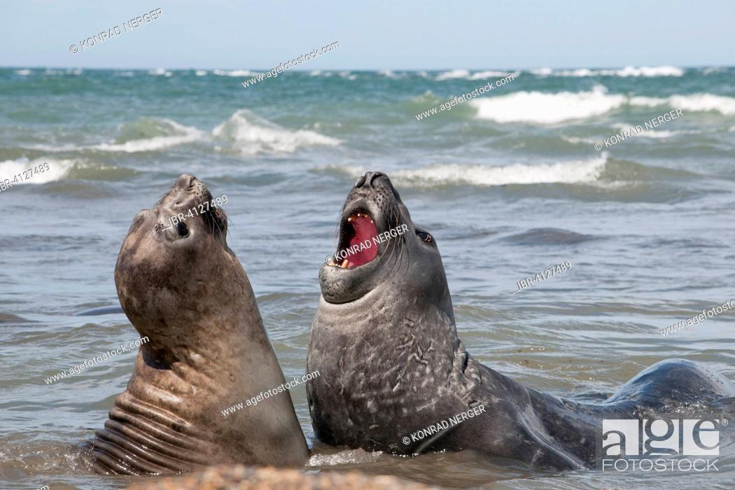 Stock Photo: Southern elephant seals (Mirounga leonina) in a mock battle, near Punta Ninfas, Argentina.