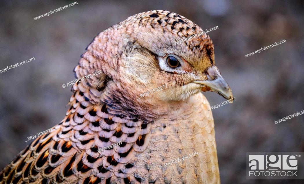 Stock Photo: Female pheasant (Phasianus colchicus) in South Lanarkshire, Scotland.