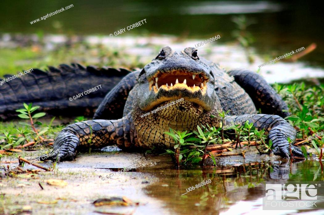 Stock Photo: an American alligator ( Alligator mississippiensis ) displaying an aggressive posture in Florida in the USA.