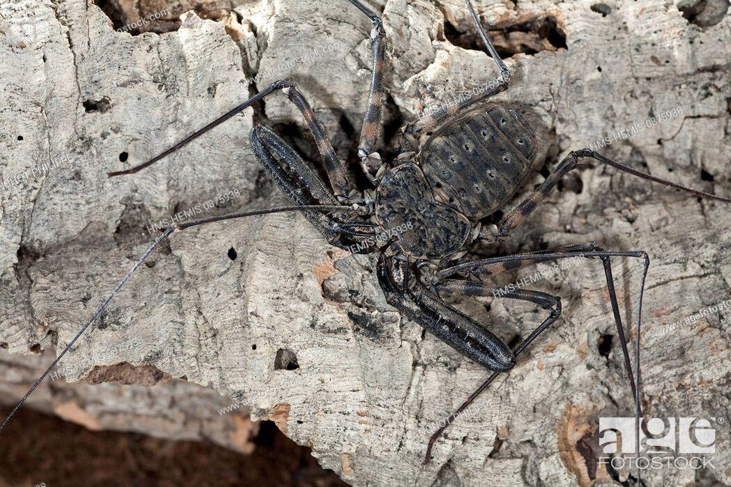 Stock Photo: Togo, Arachnida, Amblypygi, Phrynichidae, (Damon medius).