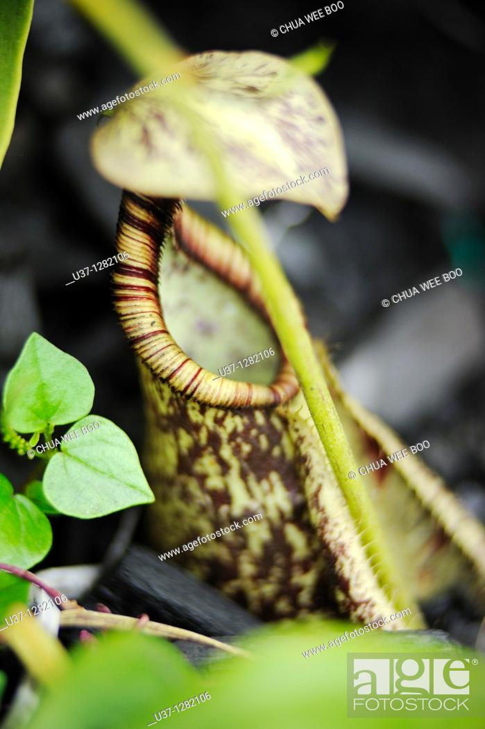 Stock Photo: Nepenthes. This pitcher plant was taken at Orchid Garden, Kuching, Sarawak, Malaysia.