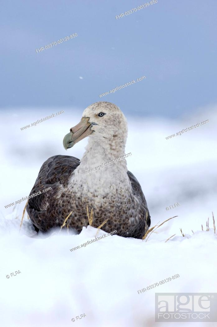 Stock Photo: Southern Giant-petrel Macronectes giganteus adult, sitting on snow, Half Moon Island, South Shetland Islands, Antarctica, november.