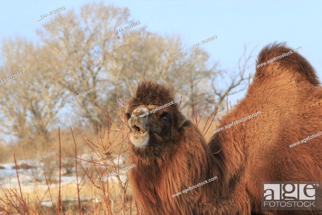 Stock Photo: Two-humped Bactrian Camel in Xinjiang, China (Camelus bactrianus).