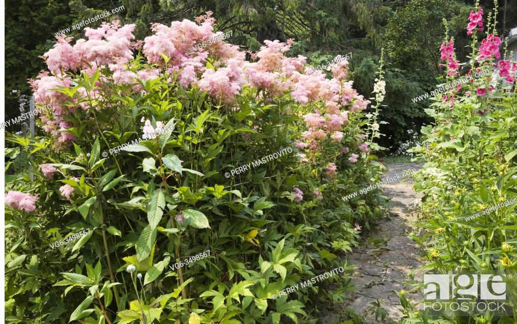 Stock Photo: Flagstone path and borders with pink Filipendula 'Queen of the Prairie' and pink Alcea - Hollyhock flowers in private backyard garden in summer.