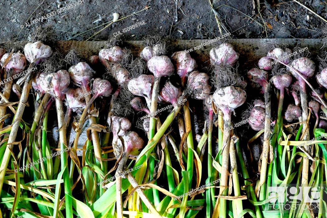 Stock Photo: Freshly dug wild garlic.