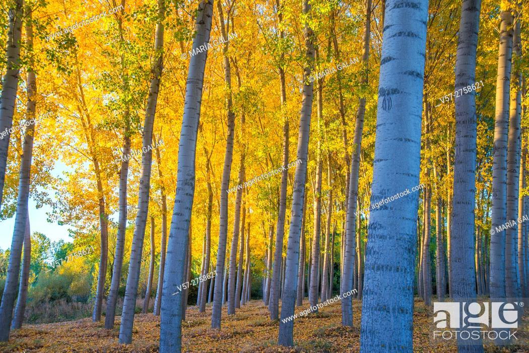 Imagen: Poplar trees forest in Autumn. Castillejo de Mesleon, Segovia province, Castilla Leon, Spain.
