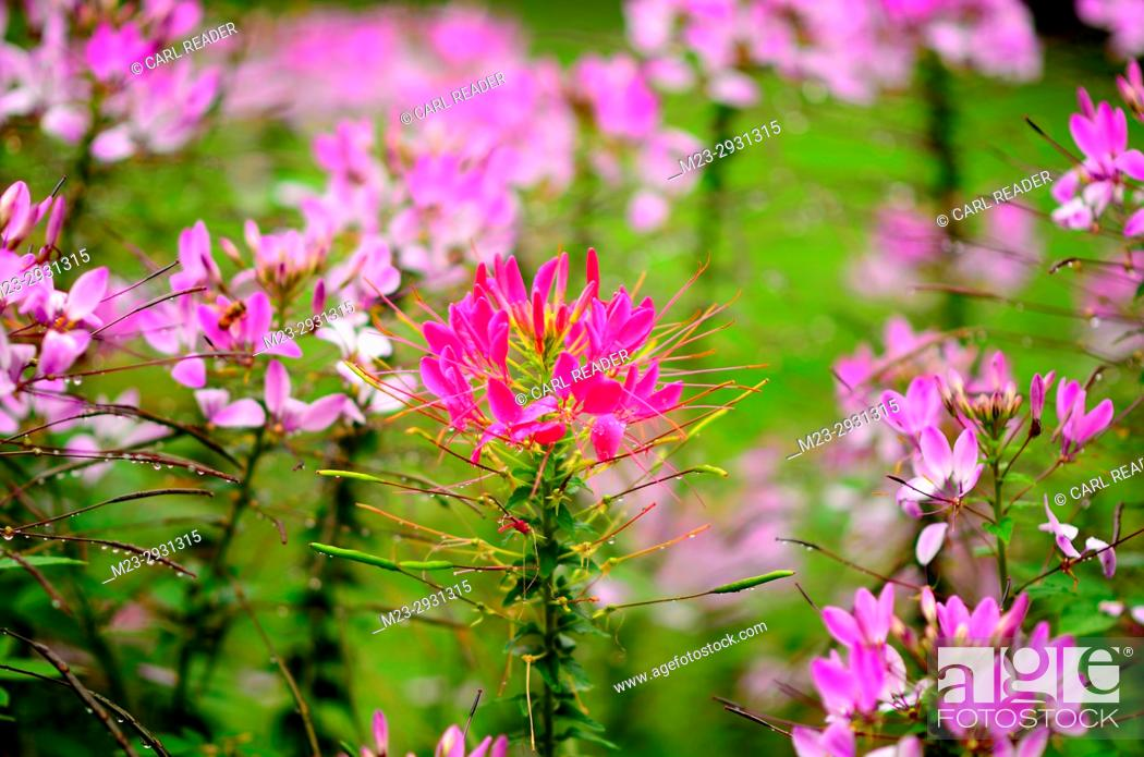 Stock Photo: A different color cleome lets its individuality known, Pennsylvania, USA.