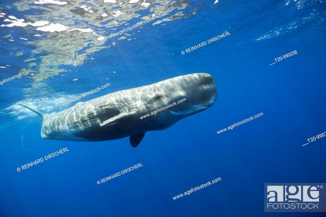 Stock Photo: Sperm Whale, Physeter macrocephalus, Port Elizabeth, Indian Ocean, South Africa.