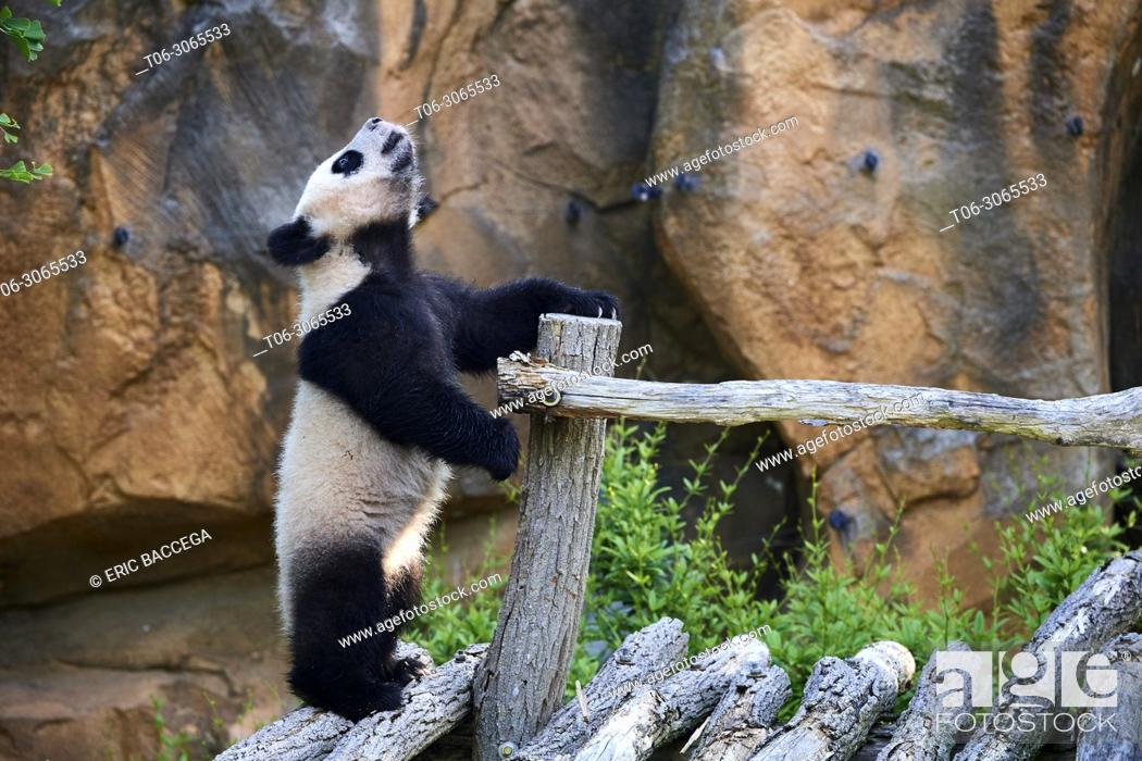 Stock Photo: Giant panda cub (Ailuropoda melanoleuca) climbing and exploring during its outings in the enclosure. Yuan Meng, first giant panda ever born in France.