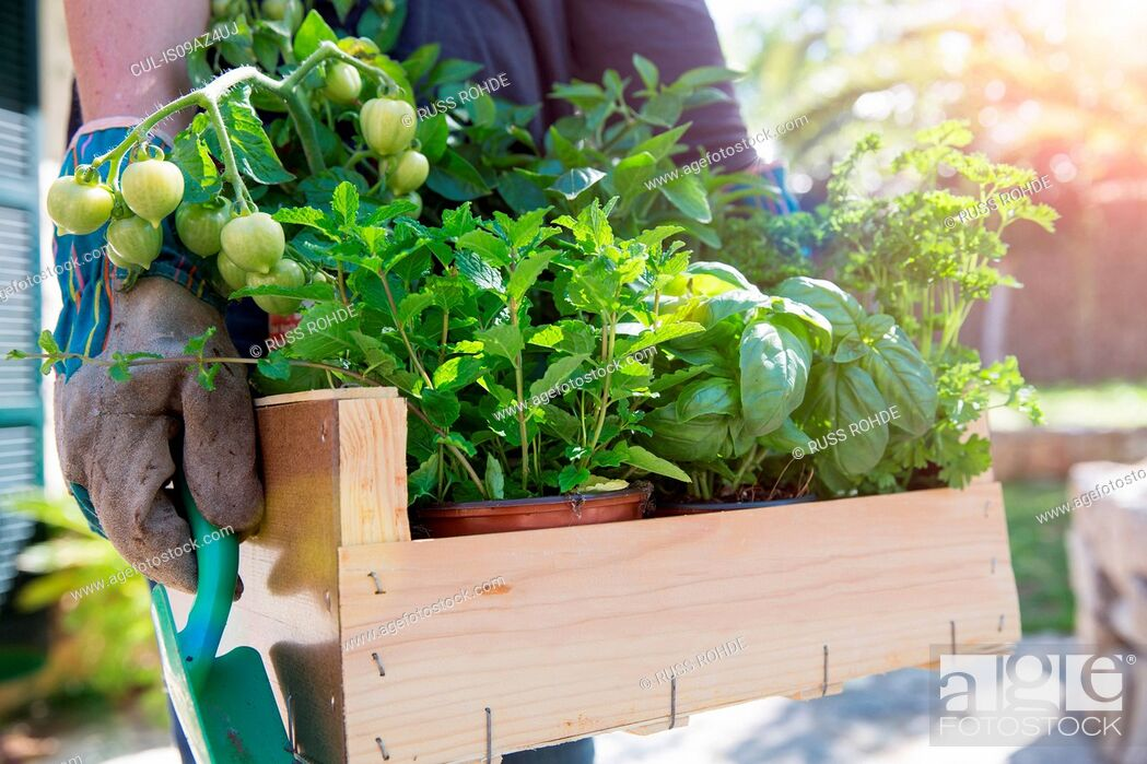 Stock Photo: Woman carrying crate of herb plants in garden.
