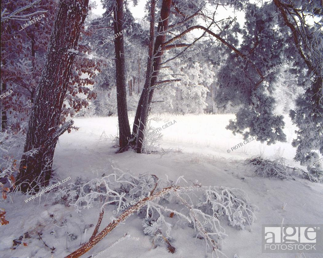 Stock Photo: Winter in a wood, Podlasie region, Poland.