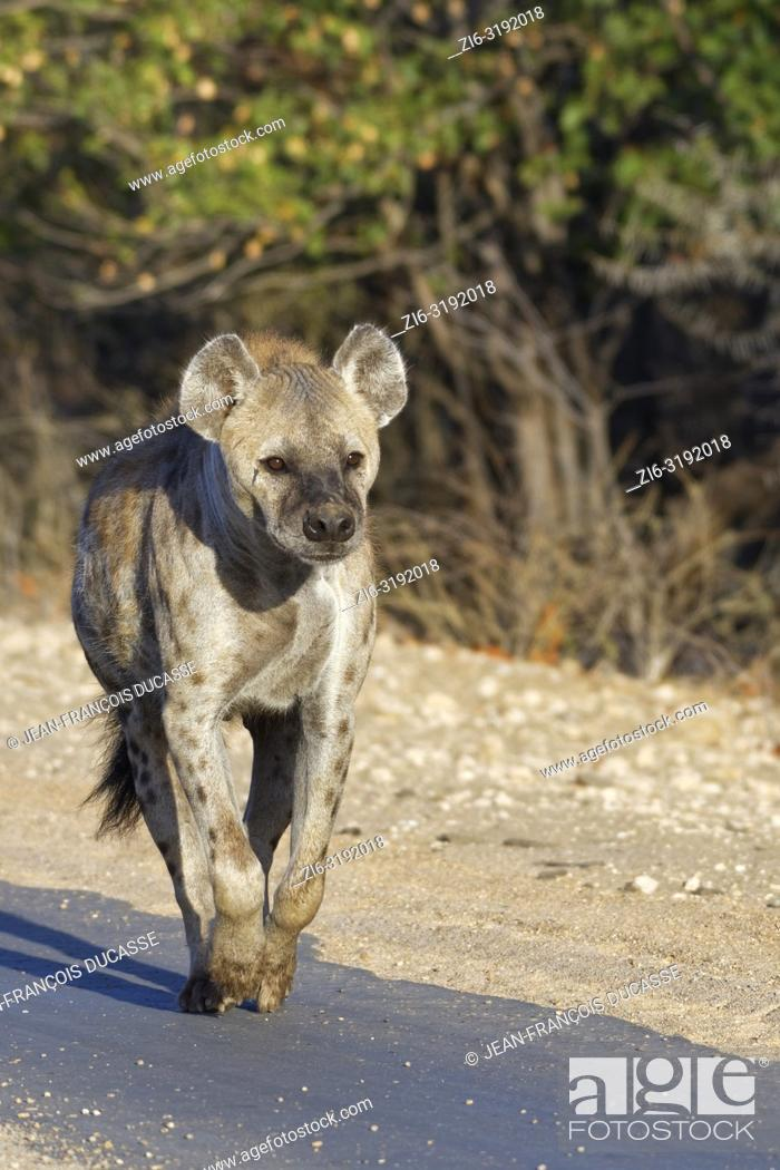 Stock Photo: Spotted hyena or Laughing hyena (Crocuta crocuta), adult female running along a tarred road, in the morning light, Kruger National Park, South Africa, Africa.