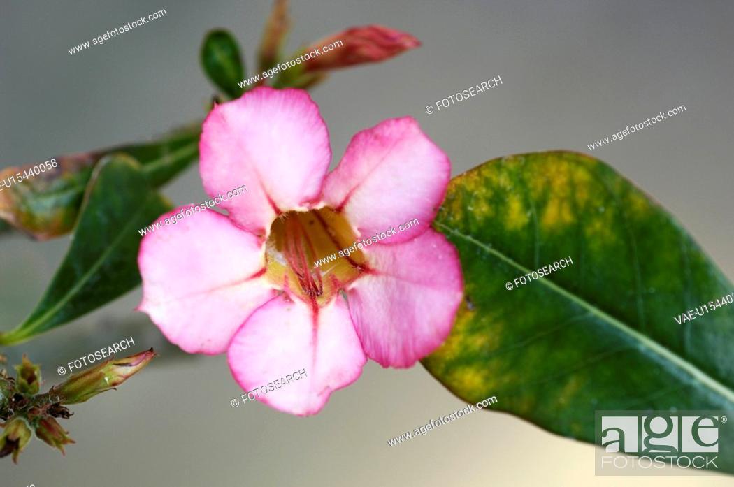 Stock Photo: Adenium obesum.