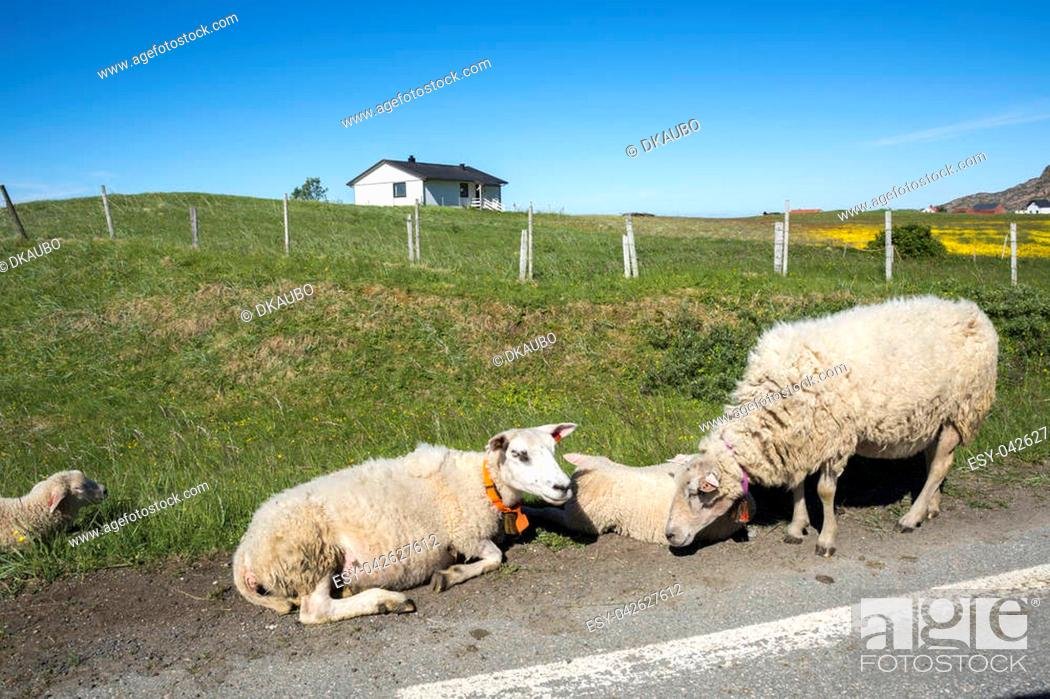 Stock Photo: sheep resting on the grass at Andenes at lofoten islands in norway.